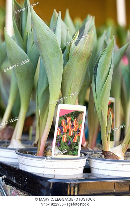 Spring bulbs  Early tulip bulbs in small pots for sale in a public market  Small florist pots of budding tulips on sale for easy gardening