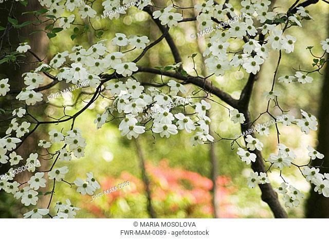 Cornus 'Florida', Dogwood - Flowering dogwood