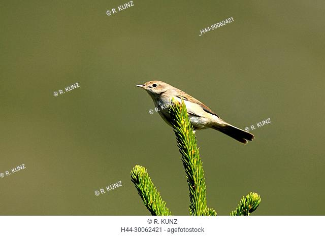 Common Whitethroat, Sylvia communis, Sylviidae, juvenile, bird, animal, Seeberge, Alps, Andeer, Canton of Graubünden, Switzerland
