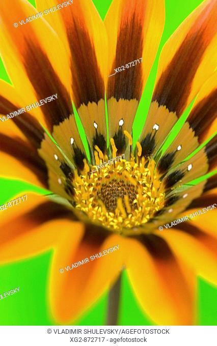 Gazania flower, close-up. Hawaii, Maui, USA