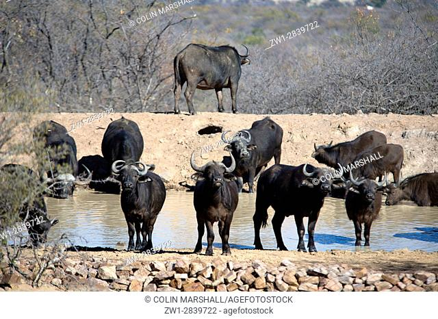 Buffalo (Syncerus caffer) herd by waterhole, Ant's Hill Reserve, near Vaalwater, Limpopo province, South Africa
