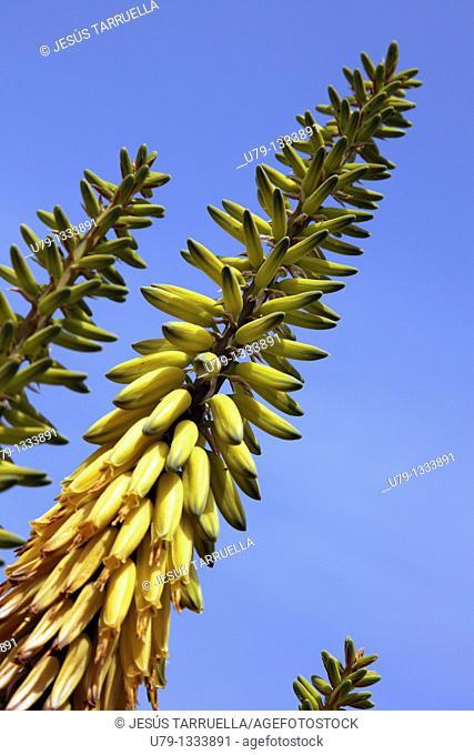 Aloe Cryptopoda , Aloe Vera, Aloe Barbadensis