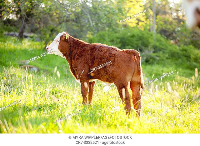 Brown and white young bull calf posing