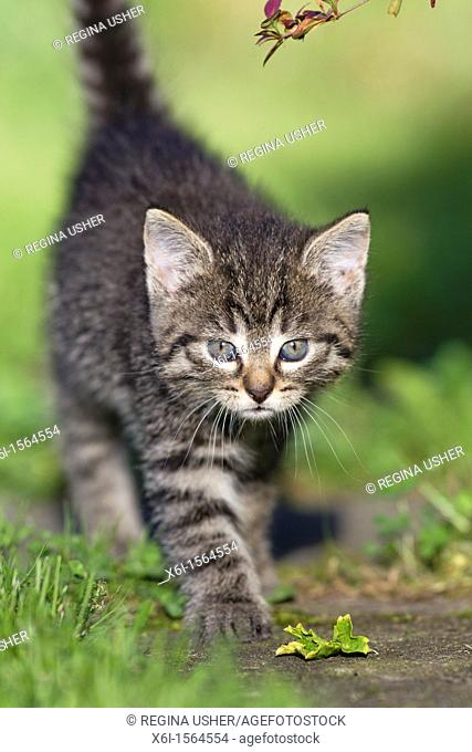 Kitten, walking down garden path, Lower Saxony, Germany