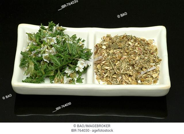 Common Yarrow (Achillea millefolium), medicinal plant