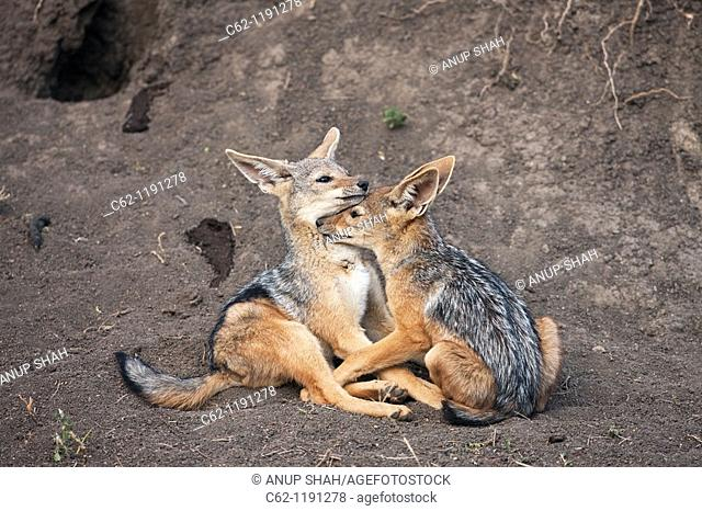 Black-backed jackal (Canis mesomelas) pups 6-9 months old playing outside the den, Maasai Mara National Reserve, Kenya
