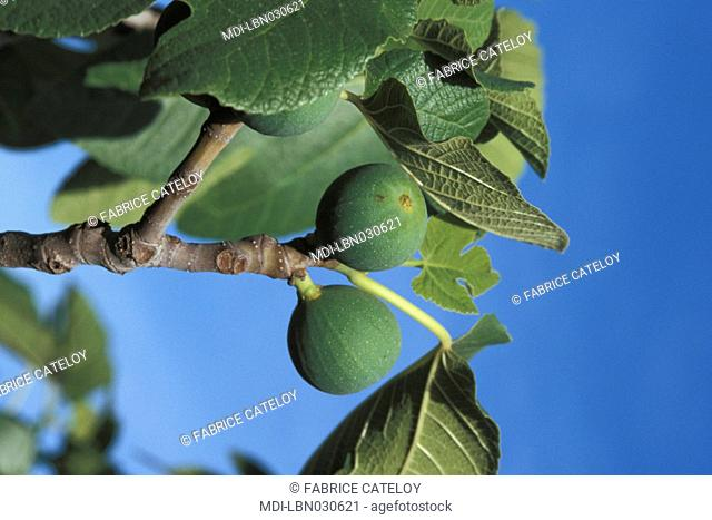 Fig in the Anjar omeyade city