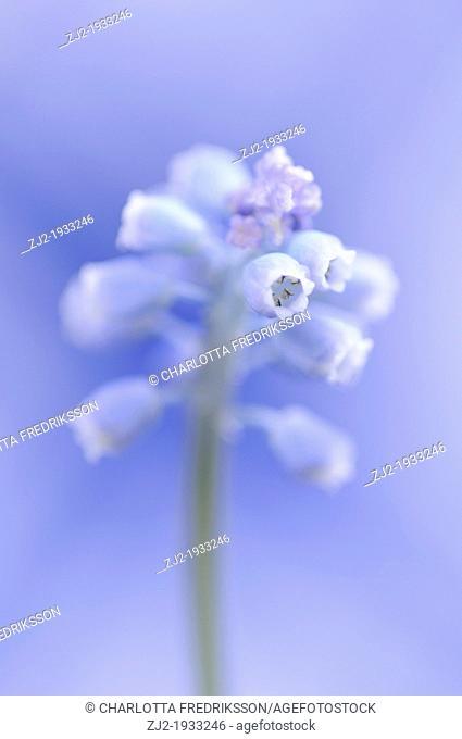 Close-up of pearl hyacinth, Muscari Botryoides