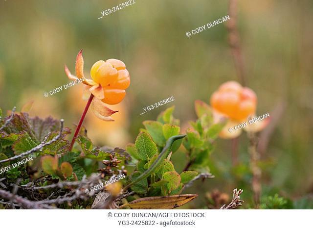 Ripe Cloudberry (Rubus chamaemorus), Troms, Norway