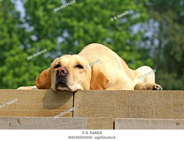 Labrador Retriever (Canis lupus f. familiaris), lying on a wall, Germany