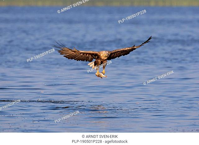 White-tailed eagle / sea eagle / erne (Haliaeetus albicilla) catching fish from lake with its talons