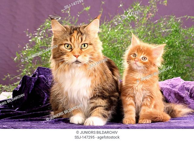 maine coon with kitten - sitting on blanket