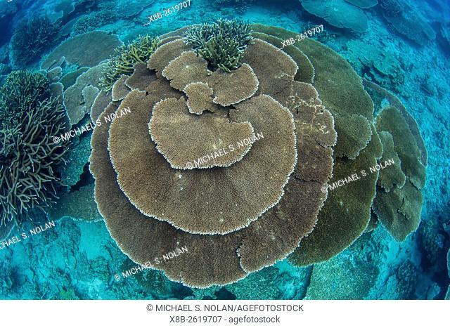 Underwater profusion of hard plate corals at Pulau Setaih Island, Natuna Archipelago, Indonesia