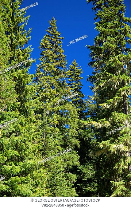 Forest at Gold Lake, Willamette National Forest, Oregon