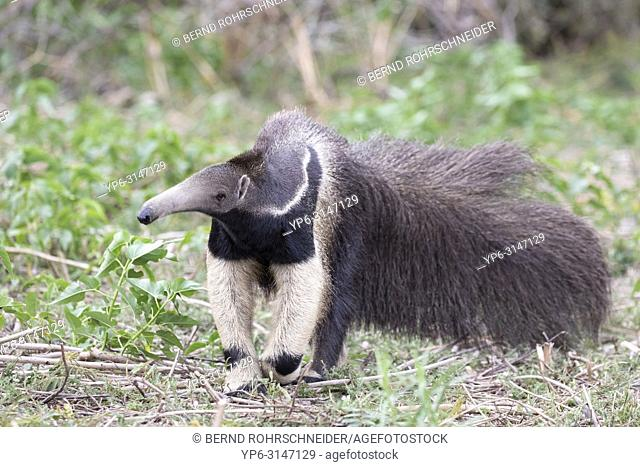 Giant anteater (Myrmecophaga tridactyla), adult, Pantanal, Mato Grosso, Brazil