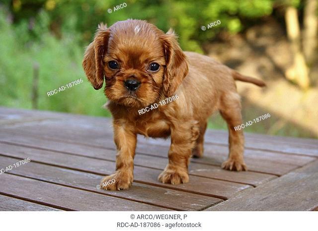 Cavalier King Charles Spaniel, puppy, ruby, 6 1/2 weeks