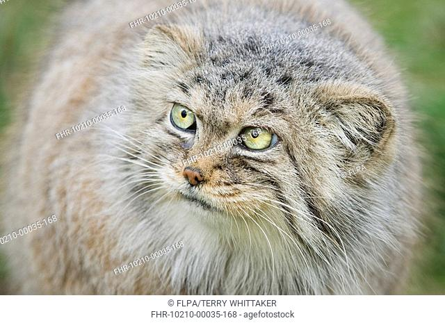 Pallas's Cat Felis manul adult, winter coat, close-up of head, captive