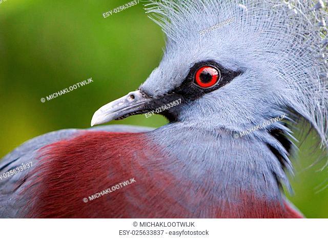Victoria Crowned bird (Goura victoria), head profile
