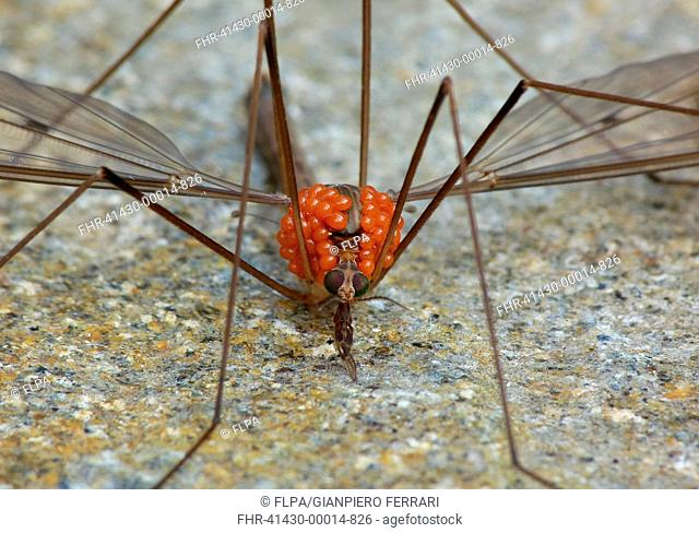 Cranefly (Tipulidae sp.) adult, infested with parasitic mites, Cannobina Valley, Italian Alps, Piedmont, Northern Italy, July