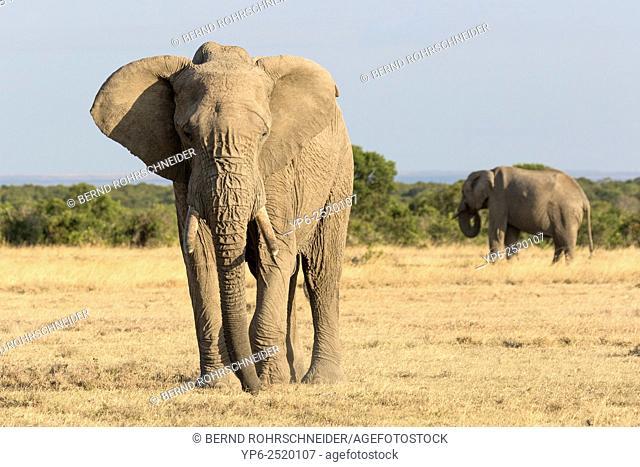 African Elephants (Loxodonta africana), Sweetwaters Game Reserve, Kenya