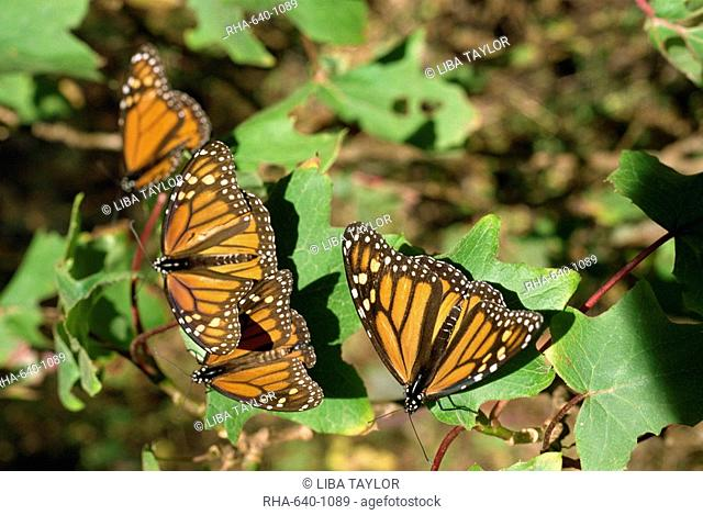 Monarch butterflies in Mexico, North America