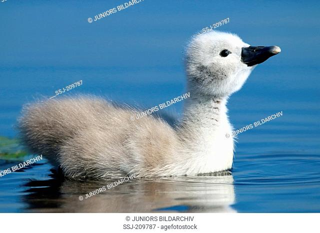 Mute Swan (Cygnus olor). Cygnet swimming. Germany