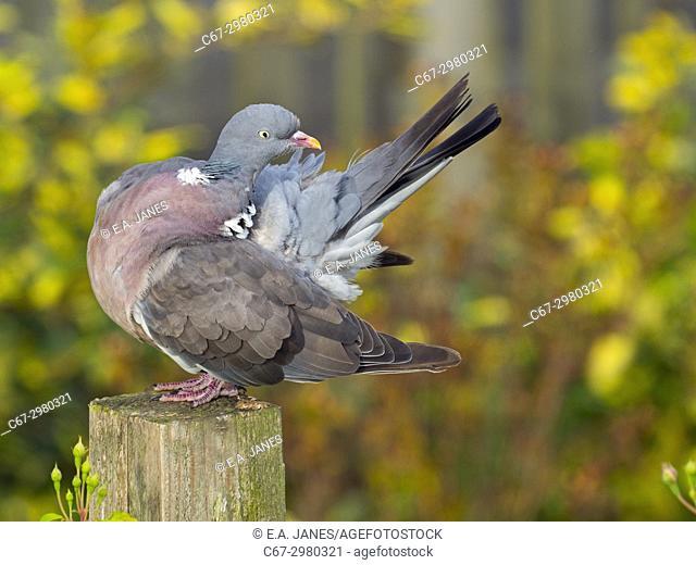 Wood Pigeon Columba palumbus preening on garden rose trellis