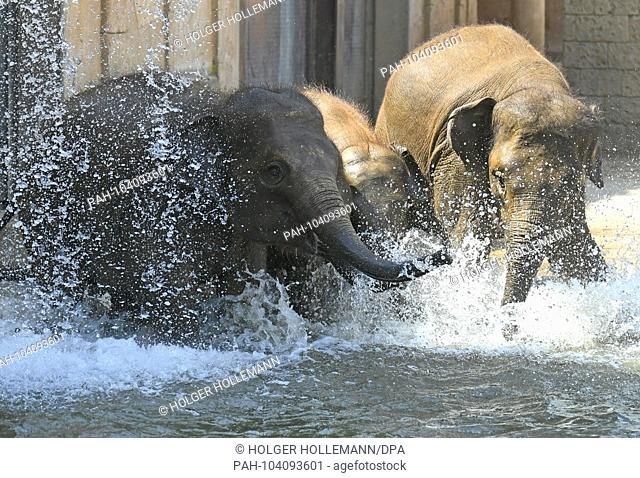22.05.2018, Lower Saxony, Hanover: Asian elephants splashing in the cool water of the water basin in the outdoor enclosure