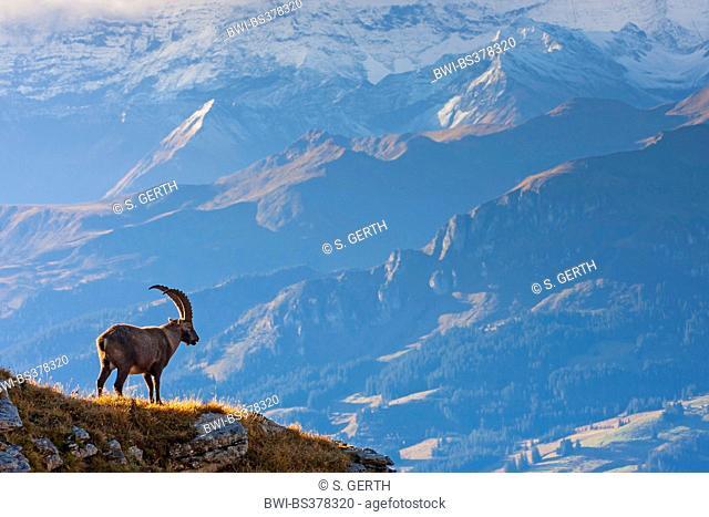 Alpine ibex (Capra ibex, Capra ibex ibex), stands on a rock looking into the valley, Switzerland, Toggenburg, Chaeserrugg