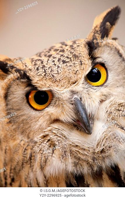 Owl with orange eyes