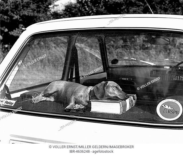 A book as a pillow, Dachshund sleeping on the backseat of a car, ca. 1960s, exact place unknown, England