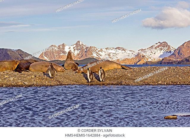 Antarctic, South Georgia Island, Godthul, King Penguin (Aptenodytes patagonicus), with Southern Elephant Seal (Mirounga leonina)