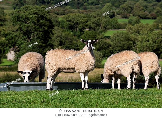 Domestic Sheep, mule lambs, four feeding at feed trough in pasture, England, august