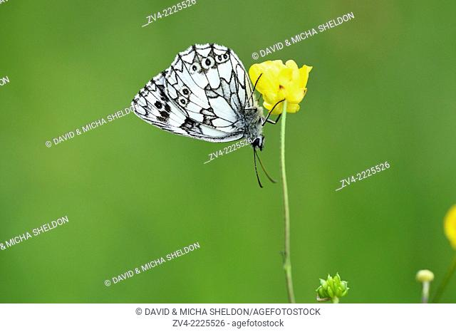 Close-up of a Marbled White (Melanargia galathea) in early summer
