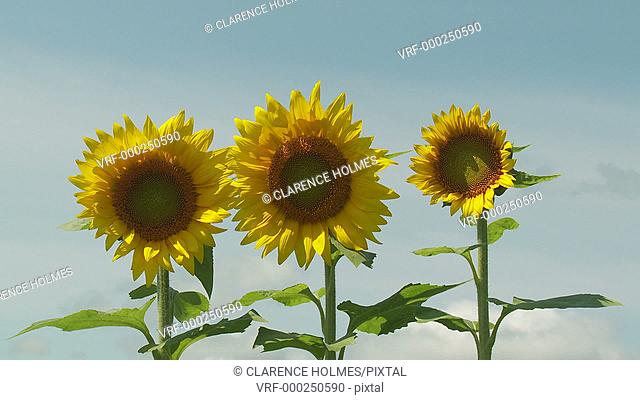 Sunflowers (Helianthus annuus) sway in the wind against a blue sky and a few passing clouds