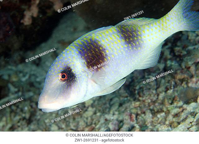Doublebar Goatfish (Parupeneus crassilabris), Manta Sandy dive site, near Arborek Island, Dampier Straits, Raja Ampat (4 Kings), West Papua, Indonesia
