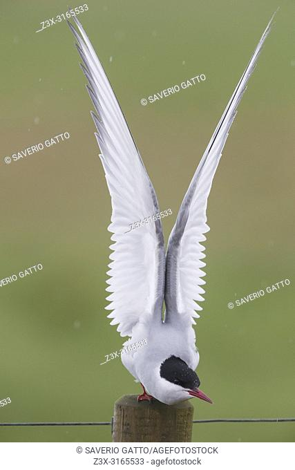 Arctic Tern (Sterna paradisaea), adult stretching