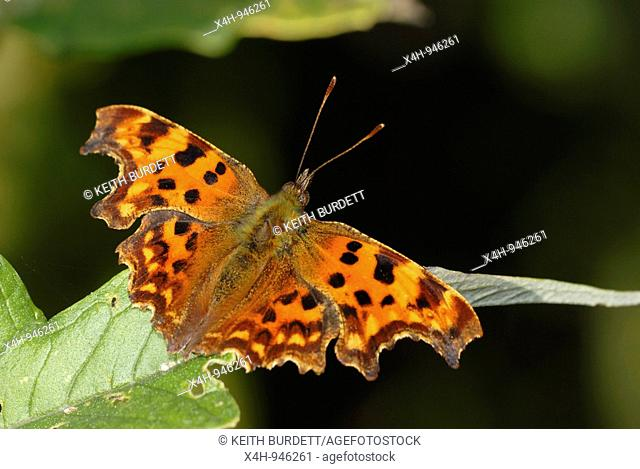 Comma butterfly, Polygonia c-album at rest, Wales