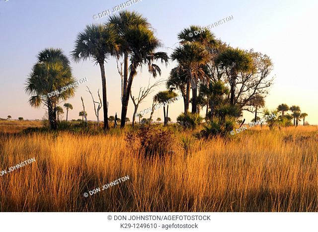 Sabal palms in grassland at sunset