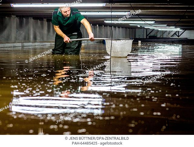 Marine biologist Gregor Jaehne uses a hand net to catch individual Pacific shrimps to check their growth in a breeding tank of the 'Cristalle Garnelen' shrimp...