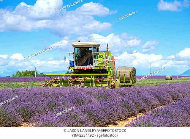 Lavender fields in Provence in height of bloom in early July as workers begin harvesting first rows of Lavender, Plateau de Valensole