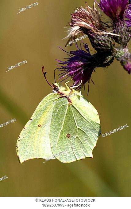 Brimstone Butterfly Gonepteryx rhamni sucking nectar - Hesselberg region, Bavaria/Germany