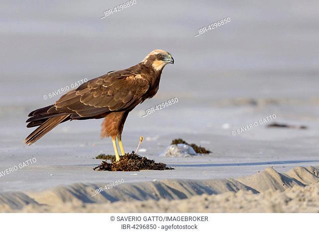Marsh Harrier (Circus aeruginosus), standing on sand, Taqah, Dhofar, Oman