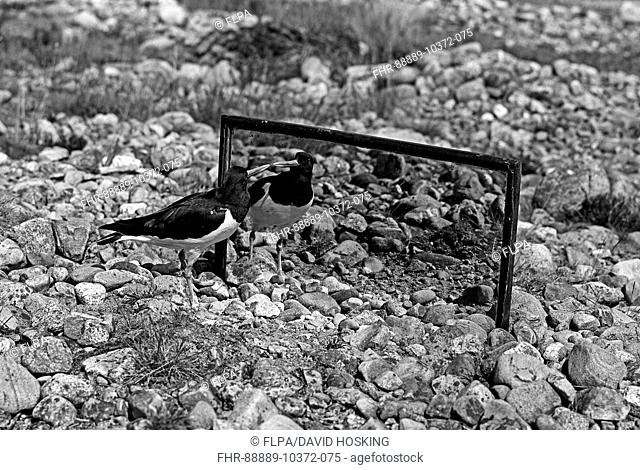 Oystercatcher looking at its reflection in a mirror - Loch Morlich Scotland . Taken by Eric Hosking in 1947