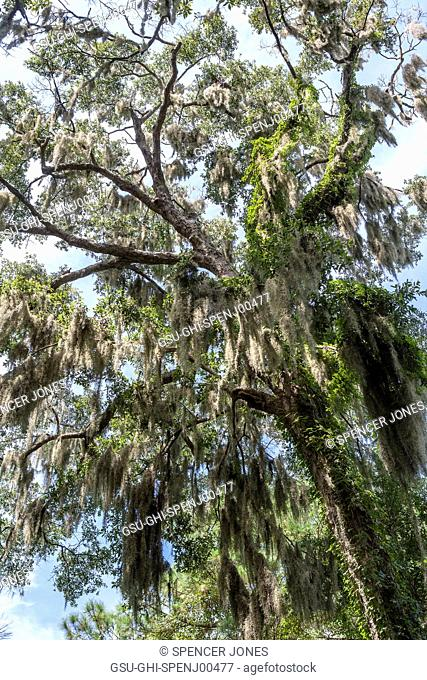 Tree with Spanish Moss, Low Angle View