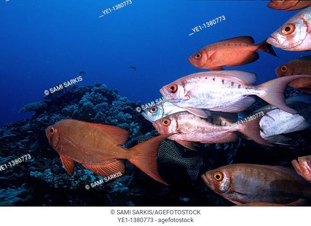 School of Blotcheye Soldierfish Myripristis Berndti and Redcoat Squirrelfish Sargocentron rubrum swimming on a coral reef, Le Sournois Reef, Noumea Lagoon