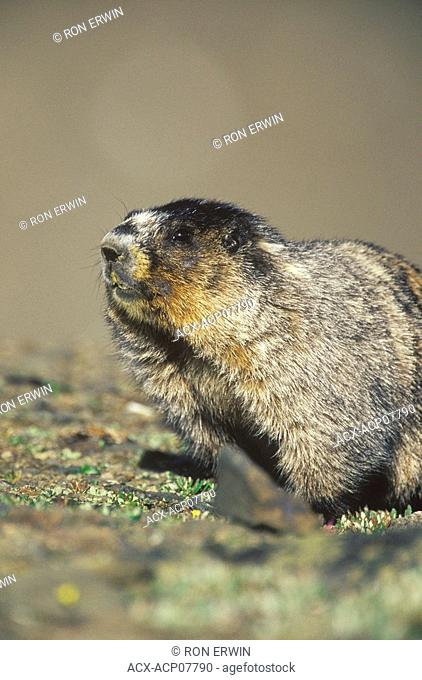 Hoary Marmot Marmota caligata or Whistler, Whistlers Mountain, Jasper National Park, Alberta, Canada