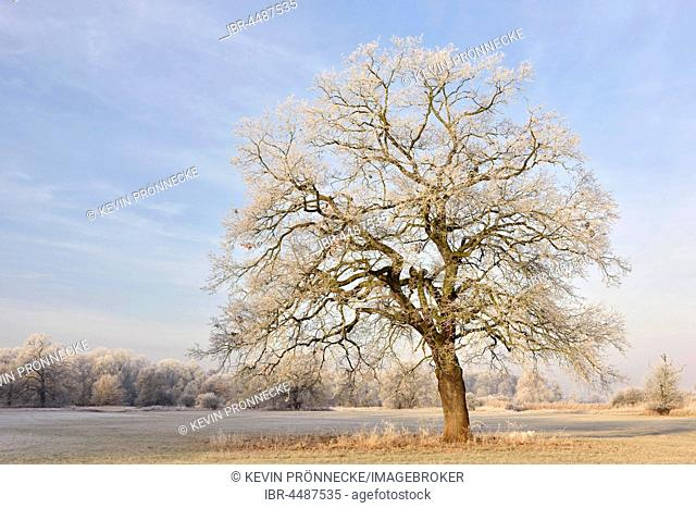 Solitary oak with hoarfrost, Elbaue, Middle Elbe Biosphere Reserve, Saxony-Anhalt, Germany