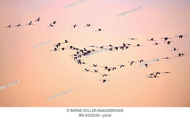 Greater flamingos (Phoenicopterus roseus), flock of flamingos flying, evening sky, Camargue, Southern France, France