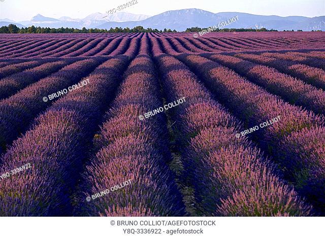 cultivation of lavender. Valensole. Alpes de Haute Provence, France